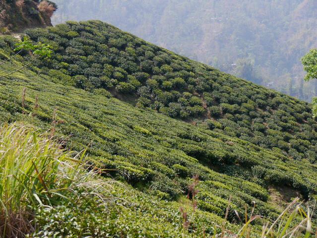 Glenburn - Teebüsche