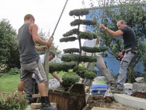 Gartenbonsai einpflanzen