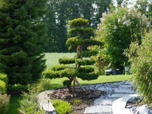 Gartenbonsai (Eibe) mit neuen Trieben