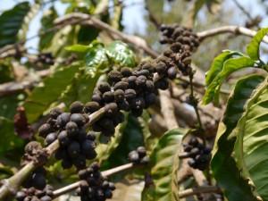 Senmonorom: Kaffee-Plantage, Kaffeebohnen