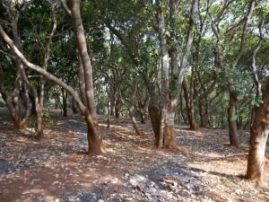 Banlung Dschungel-Trekking: Cashewbäume