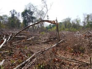 Banlung Dschungel-Trekking: grossflächiger Holzschlag