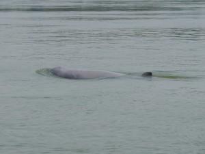 Kratie:Mekong Delphine