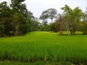 Banteay Srei, Reisfelder