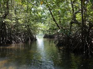 Koh Kong: Mangrovenwälder