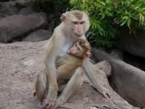 Koh Kong: Tatai Wasserfall, Affenmutter mit Baby