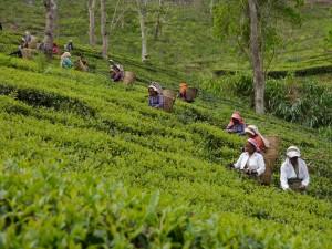 Glenburn: Teepflückerinnen bei der Arbeit