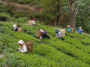 Glenburn: Teepflückerinnen bei der Arbeit mit Bea