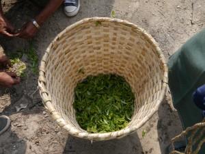 Glenburn: 500gr Tee gepflückt von Bea