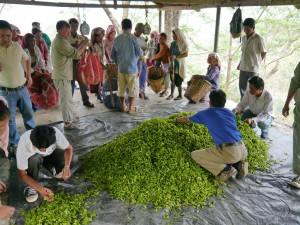 Glenburn: Tee wird gewogen