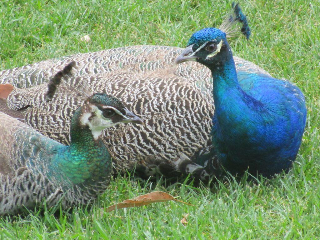 Newcastle Zoo - 2 Pfauen beim Flirten