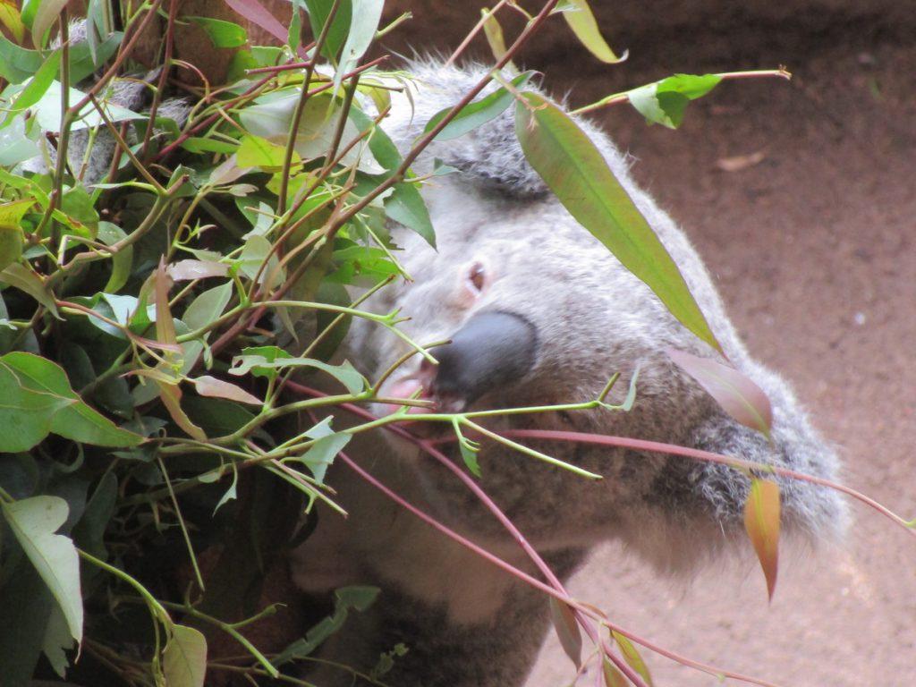 Newcastle Zoo - Koala