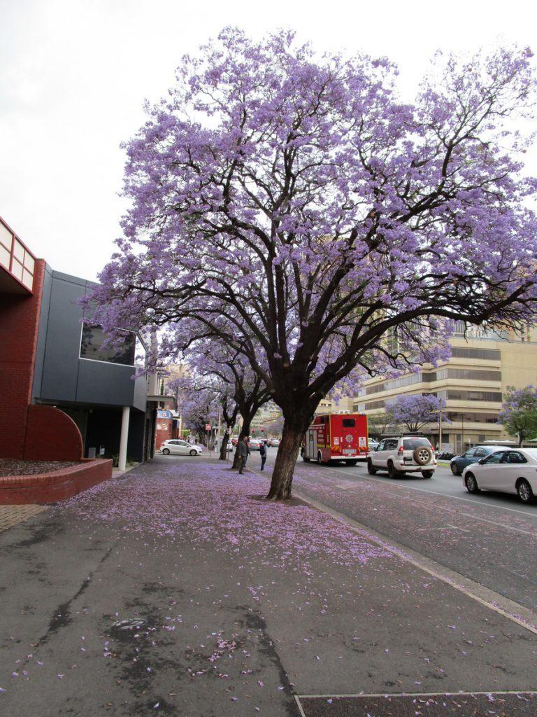 Adelaide - Jacaranda (Palisanderbaum)